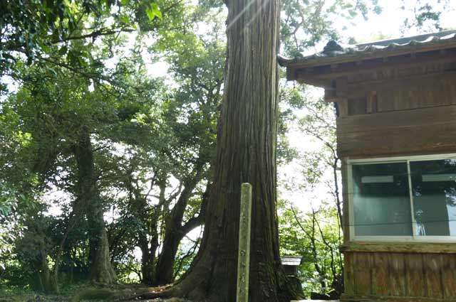 西神社の大杉の画像(横から撮影)