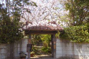 抹茶カフェの桜