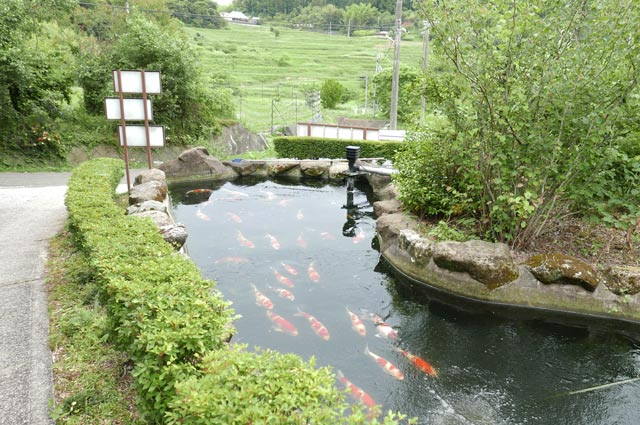 錦鯉の泳ぐ池の画像