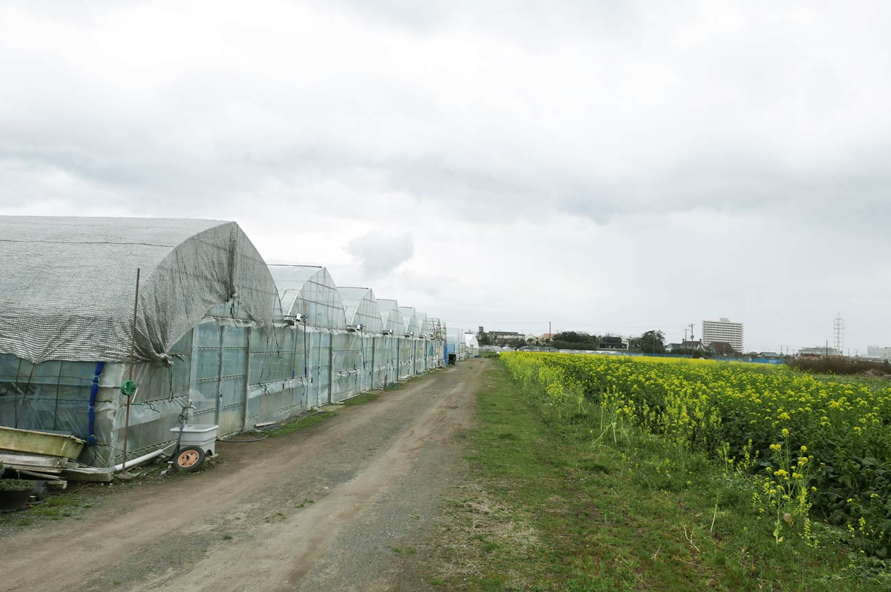 新宅農園のハウスと菜花畑の画像