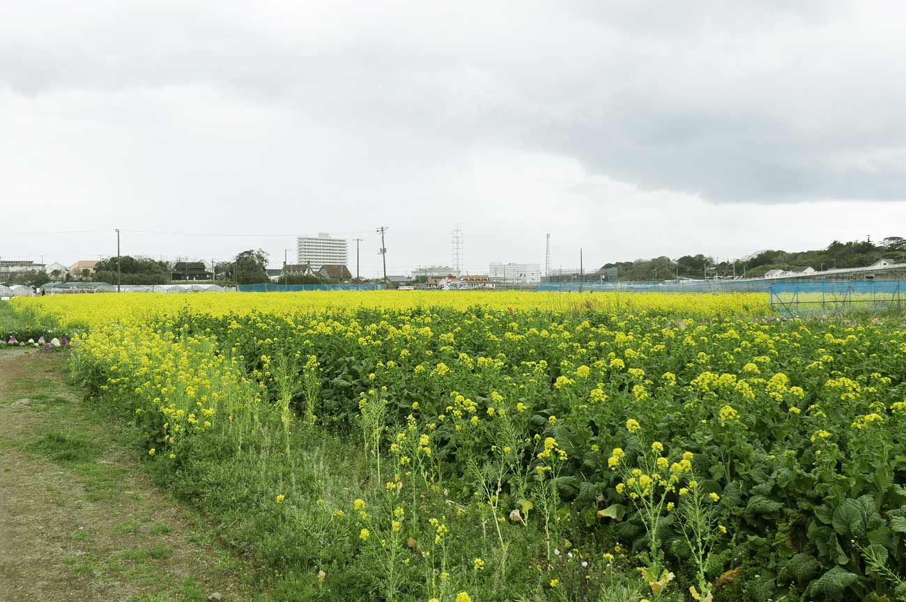 新宅農園の菜花畑の画像