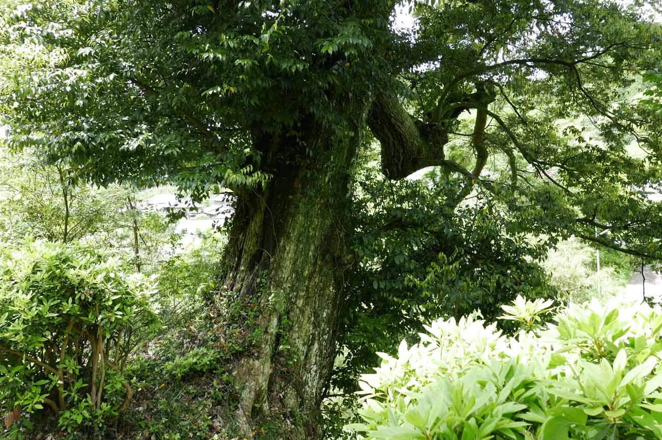 石段横の大くすの木の画像