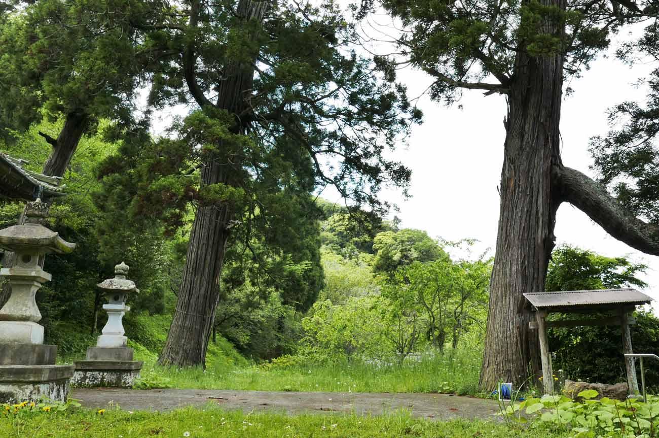 境内の大杉の画像