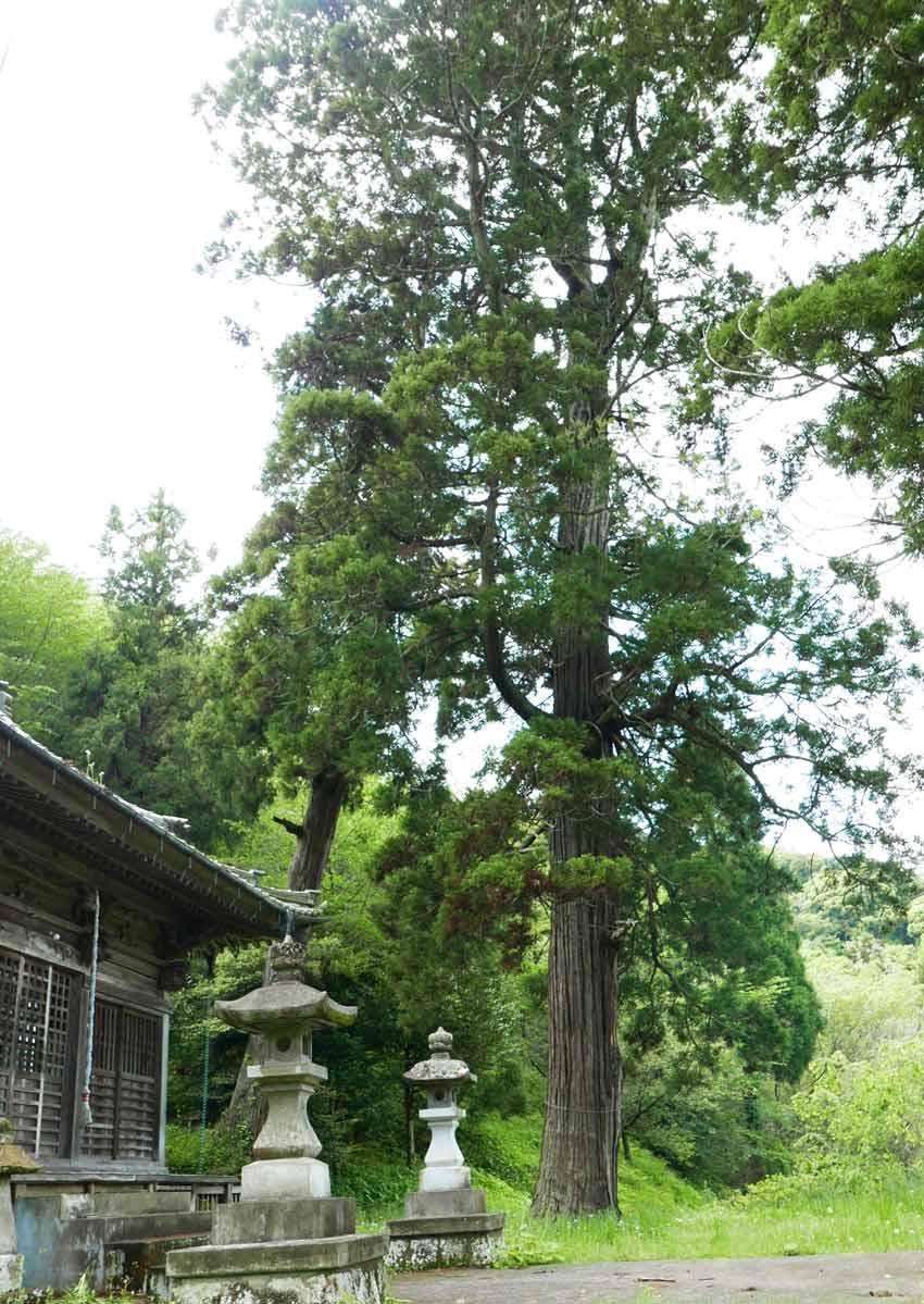 境内の大杉の画像2