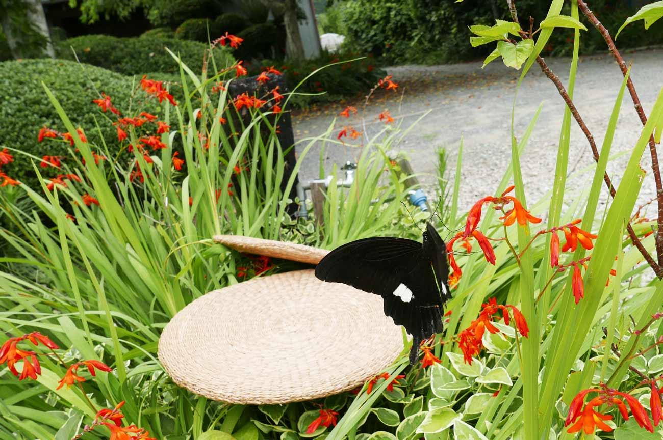 庭のアゲハ蝶の画像