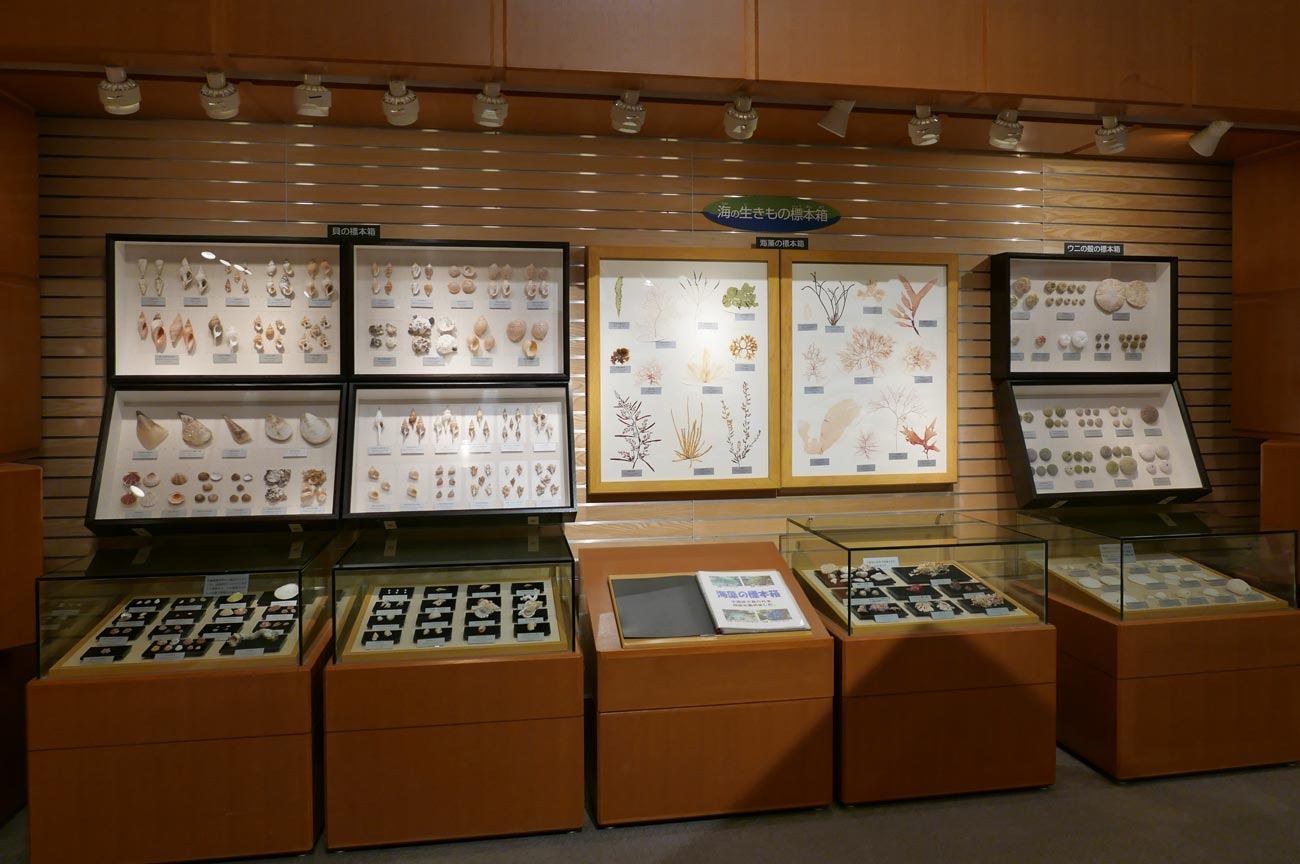 貝の標本のコーナー