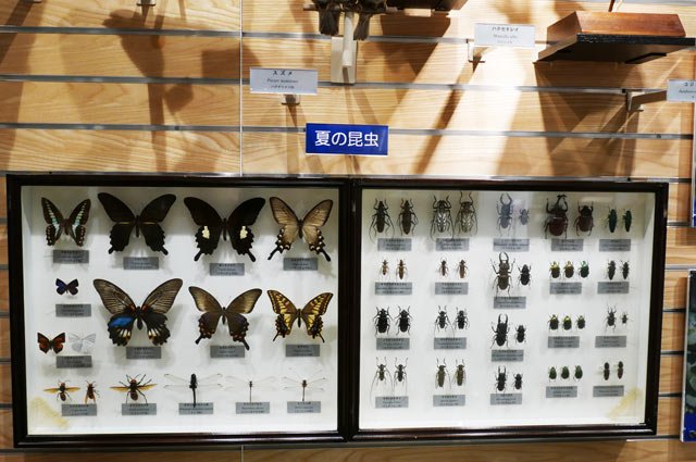 夏の昆虫の標本