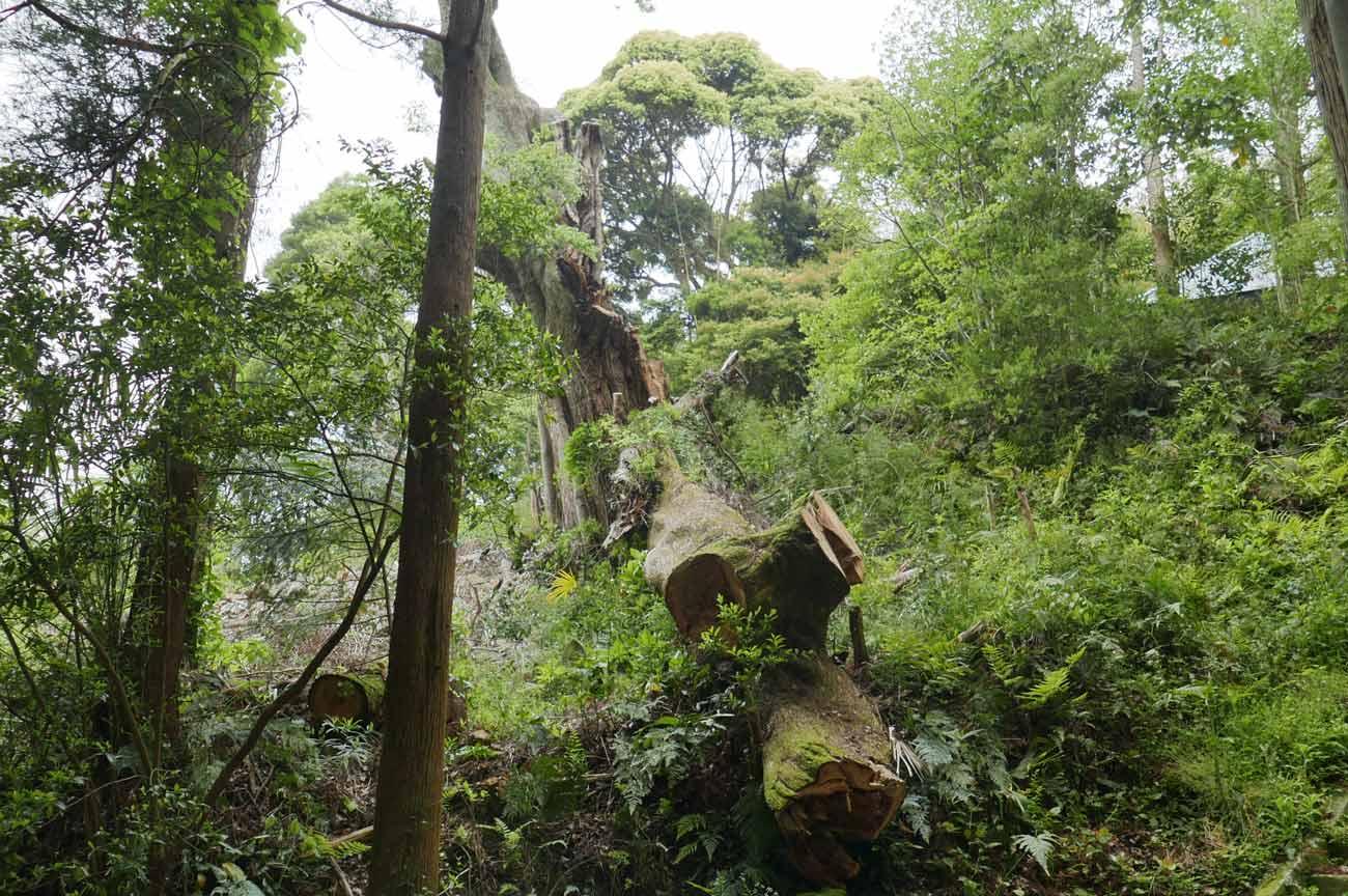 倒れた大木の画像1