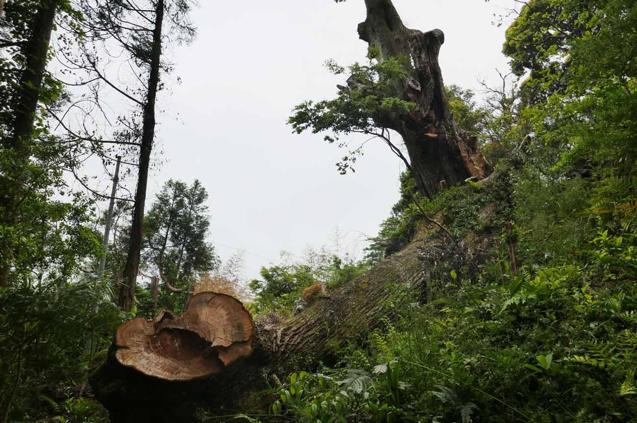 倒れた大木の画像2