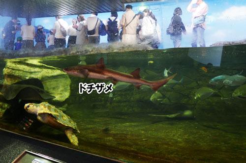 ドチザメの画像