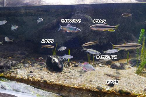 川の中流の魚の画像