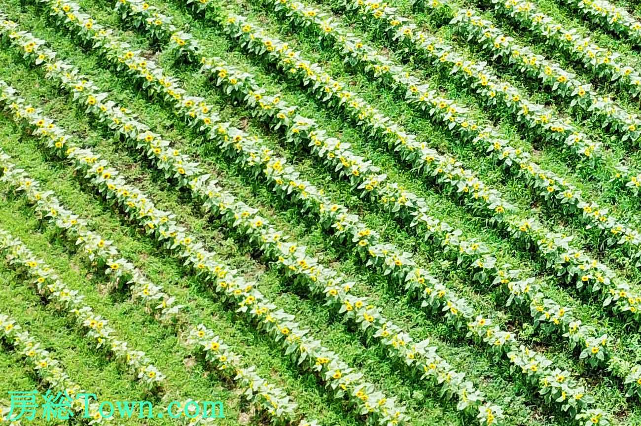 ヒマワリ畑の空撮画像
