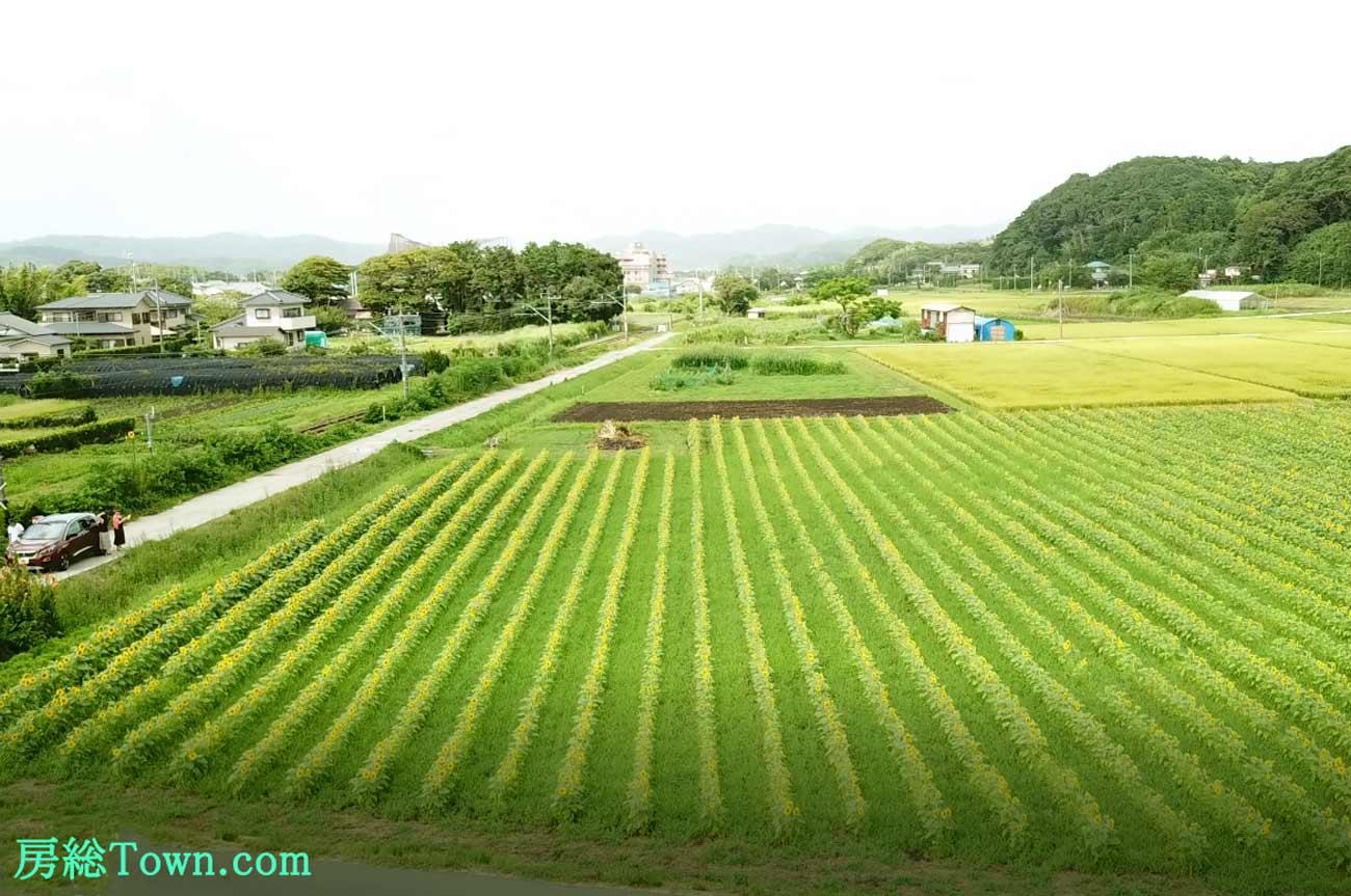 ヒマワリ畑の空撮画像2