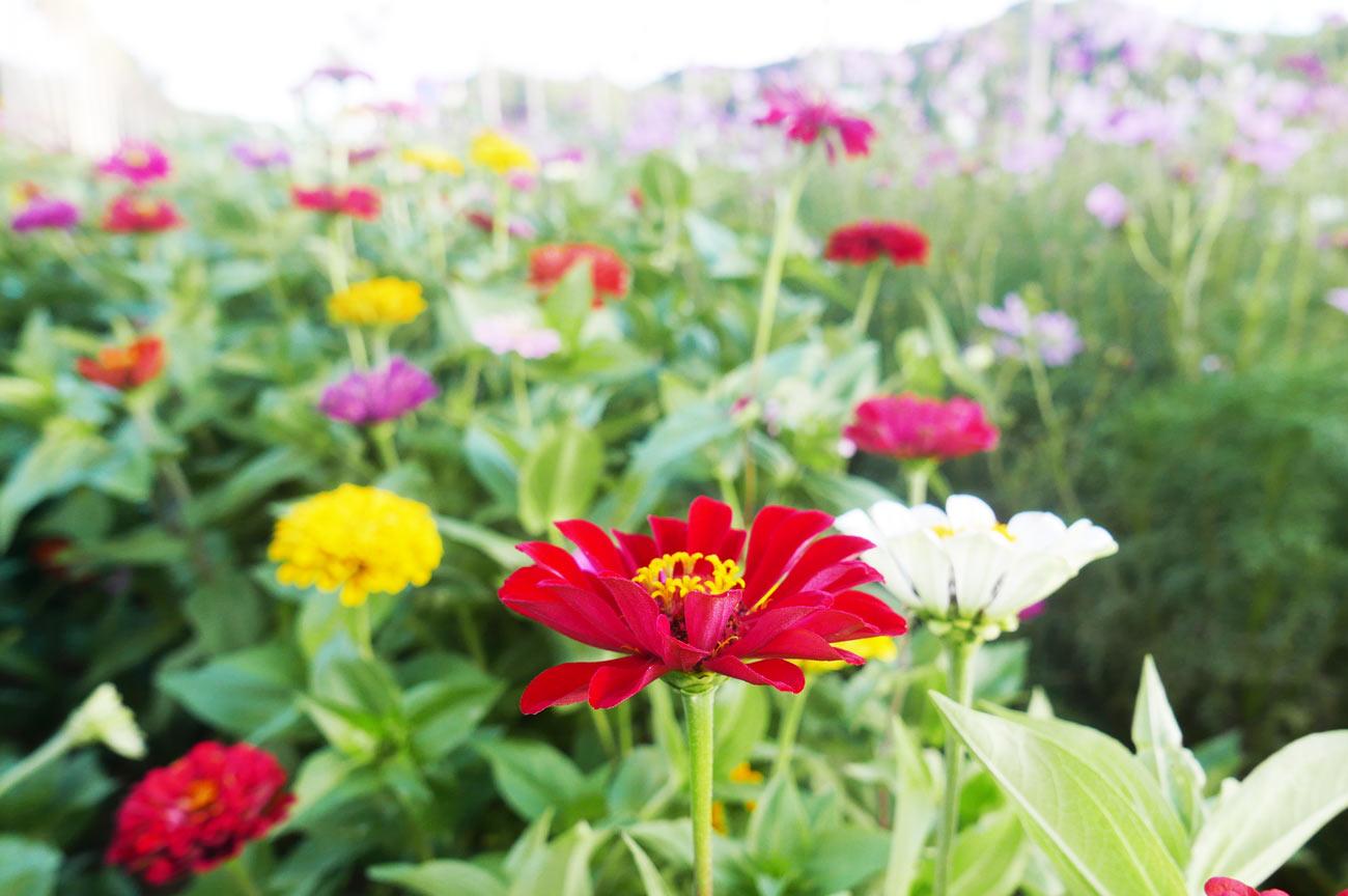百日草のアップ画像