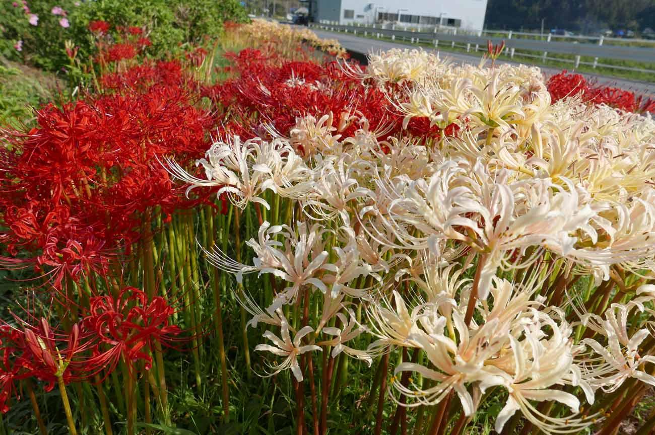 赤と白の彼岸花のアップ