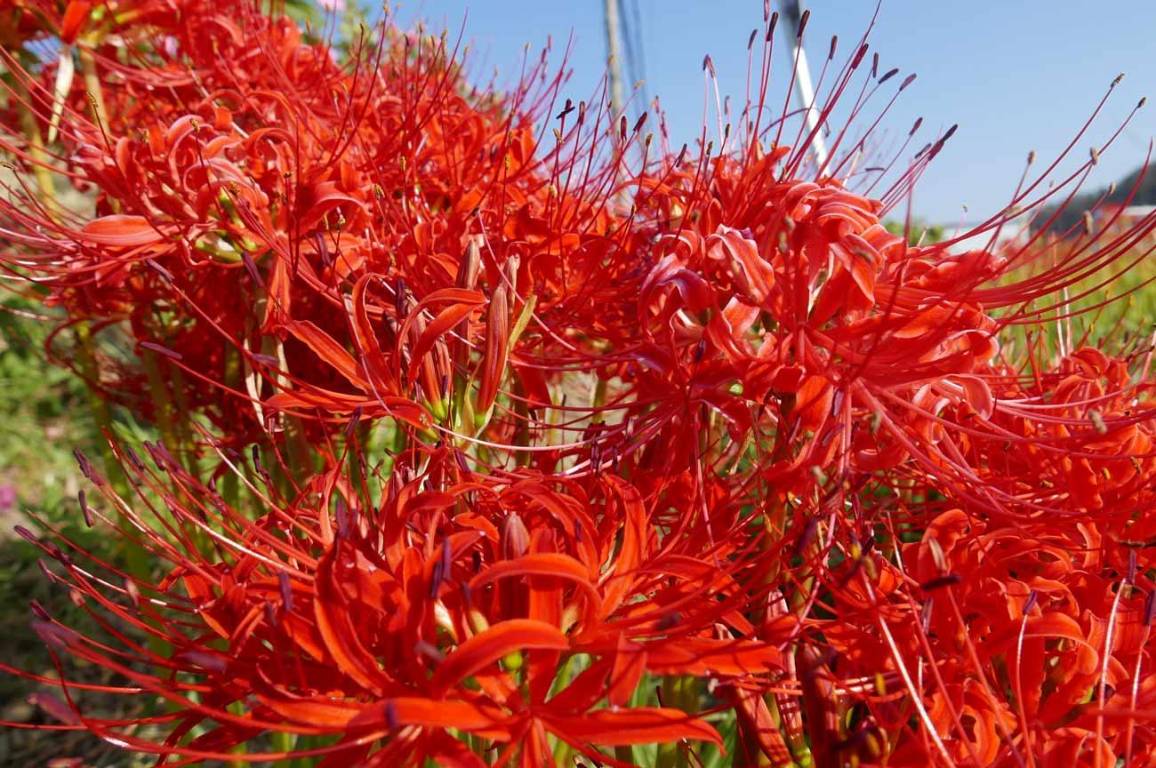 赤の彼岸花のアップ画像