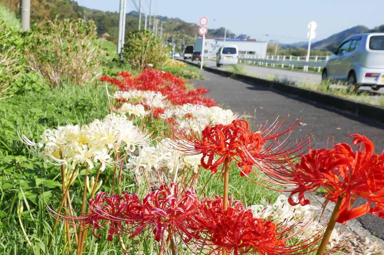 赤と白の彼岸花の画像