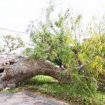 折れた館山市天然記念物「さいかちの木」