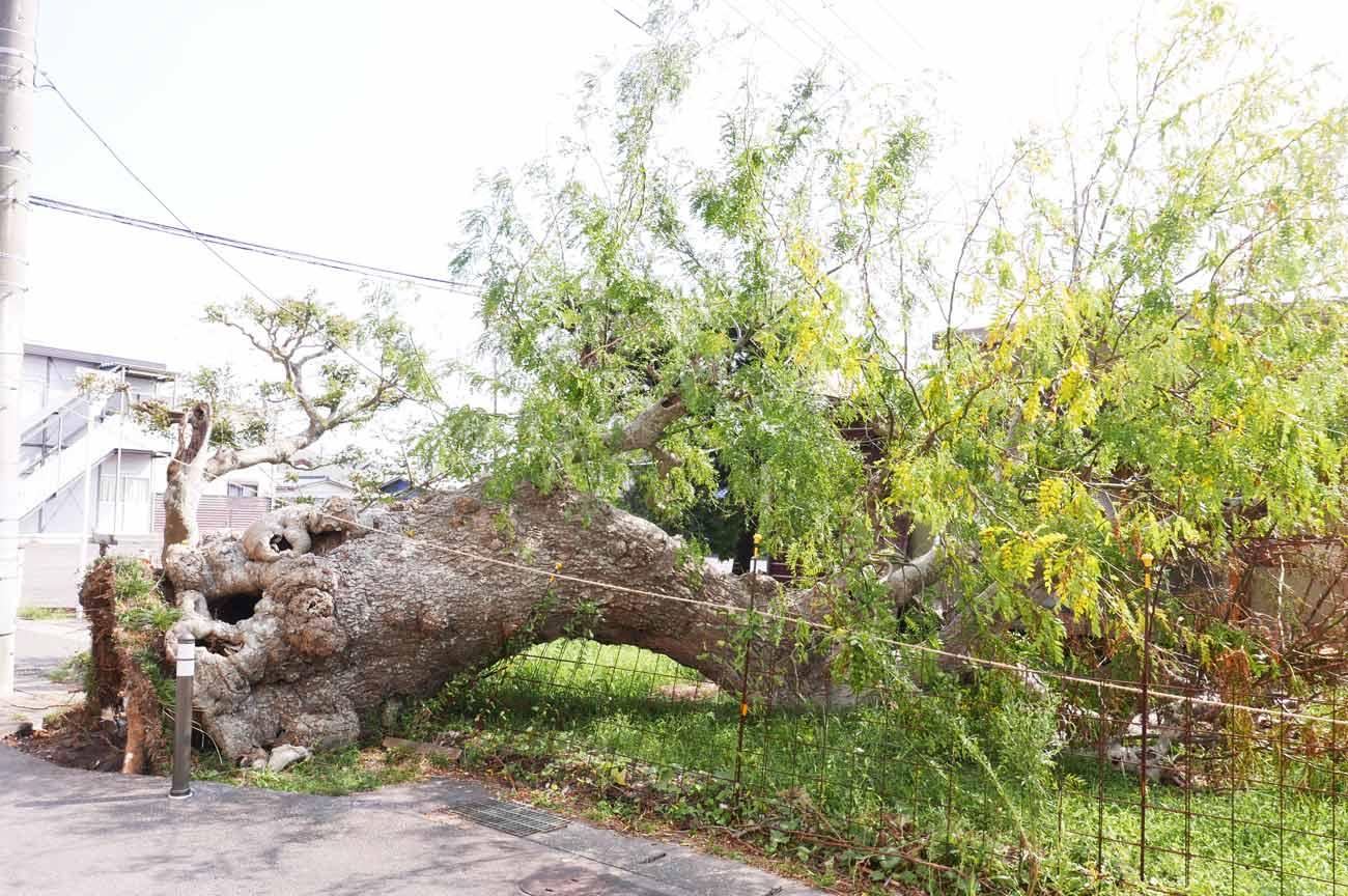 六軒町サイカチの木