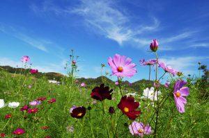 コスモス畑の画像