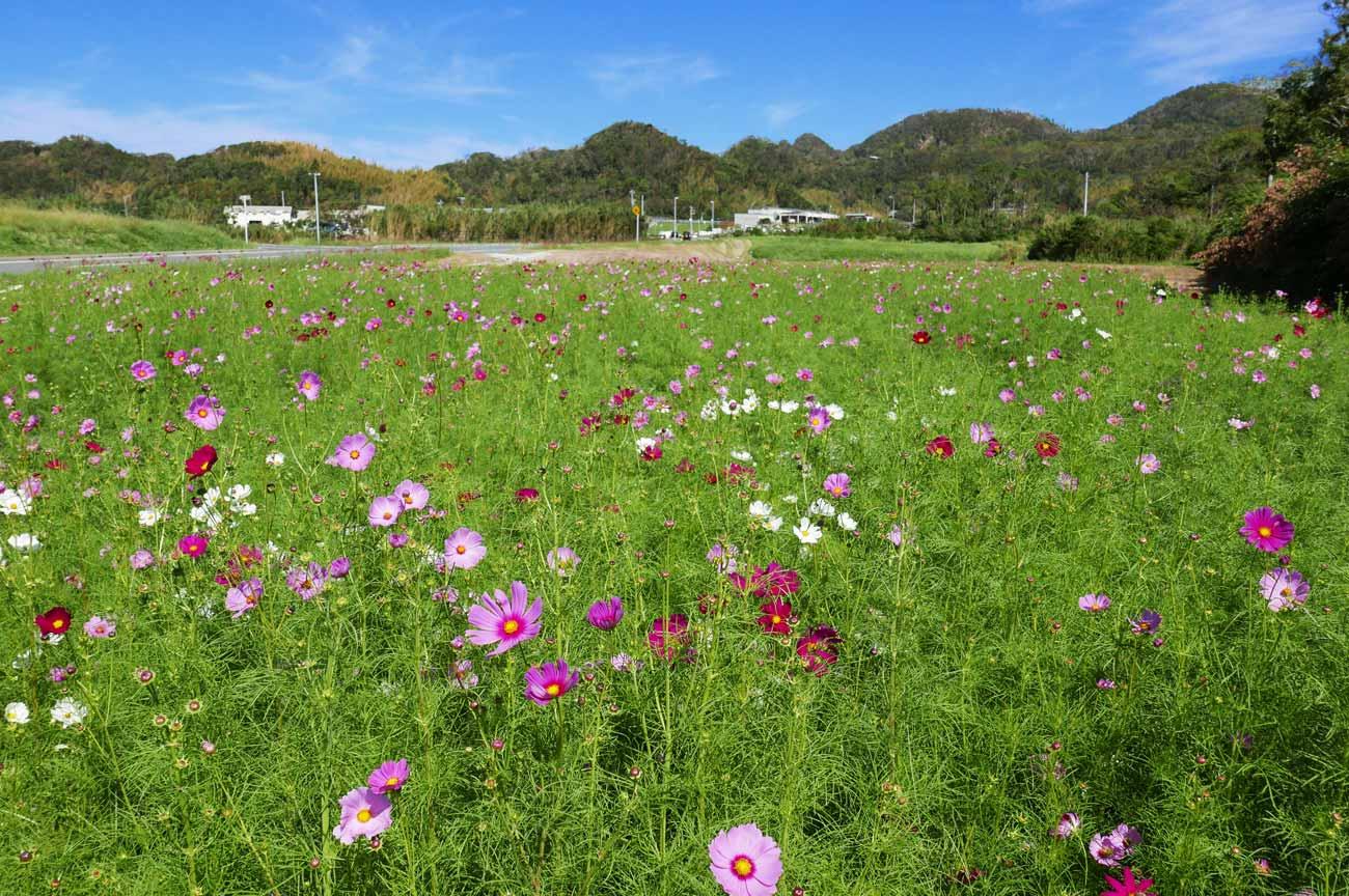 畑一面に咲くコスモスの花