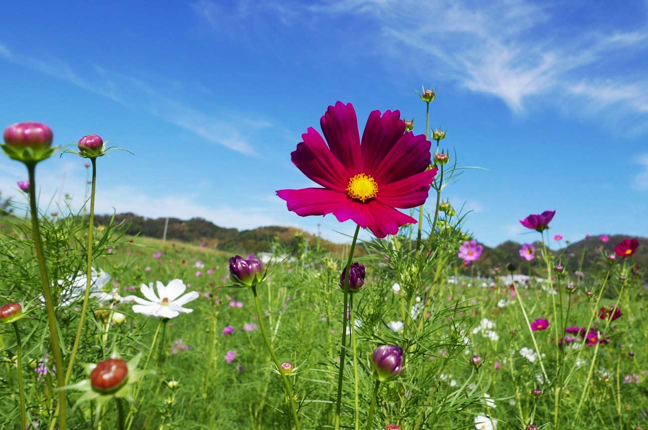 赤紫のコスモスの花