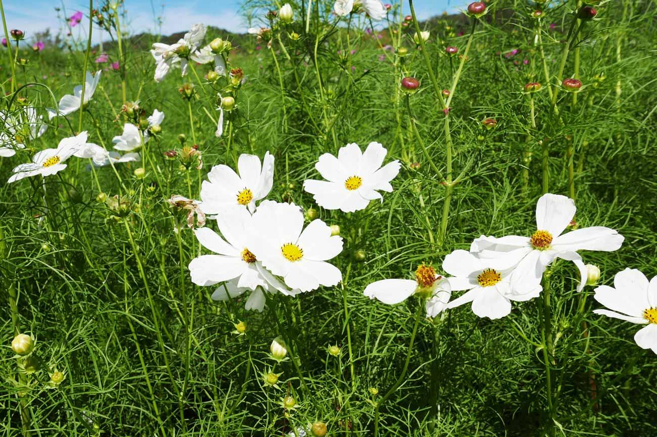白のコスモスの花