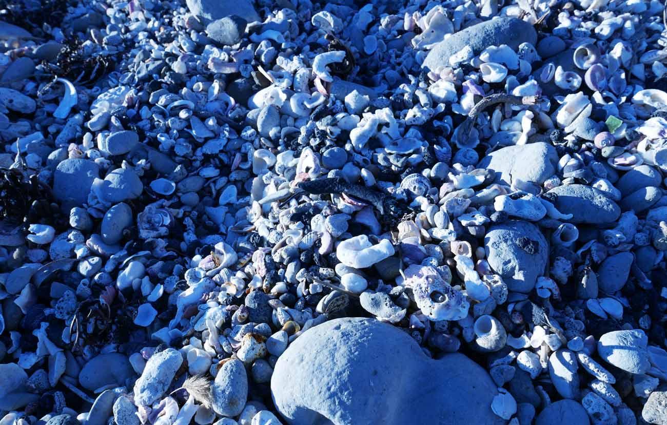 根本海岸の貝殻