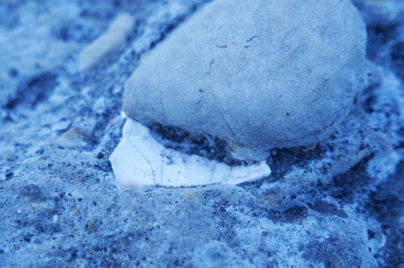 シロウリガイの化石2