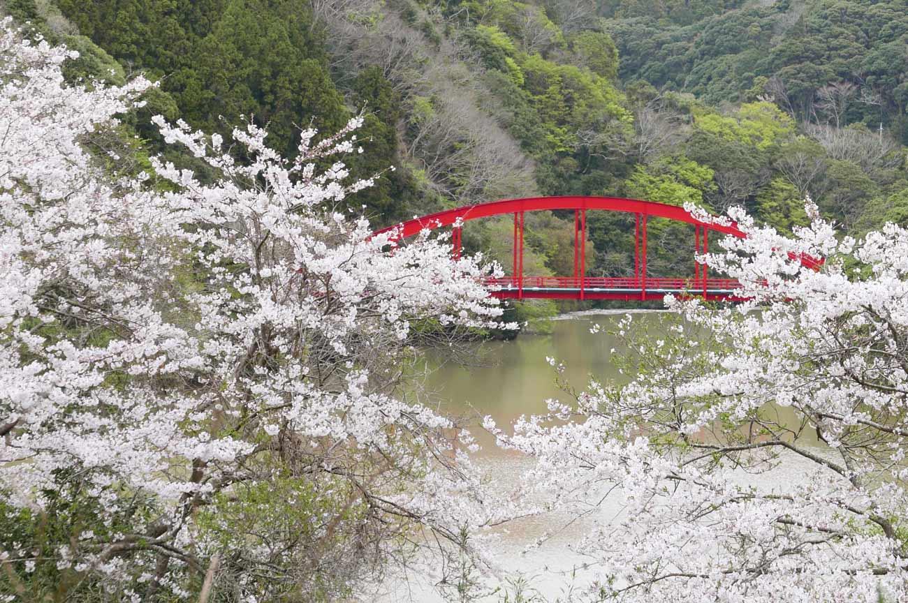 安房中央ダムの桜