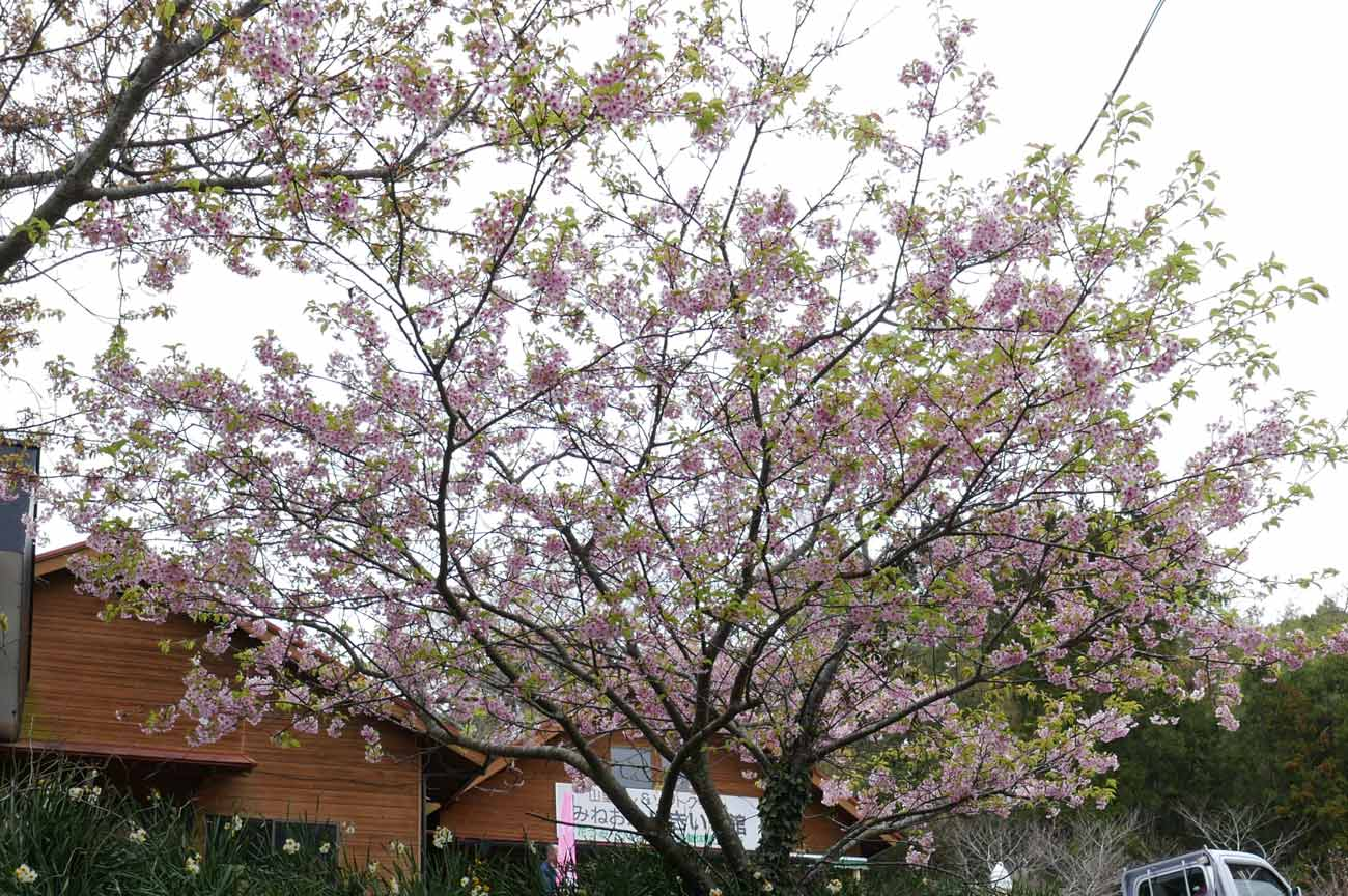 丸山川沿いの桜