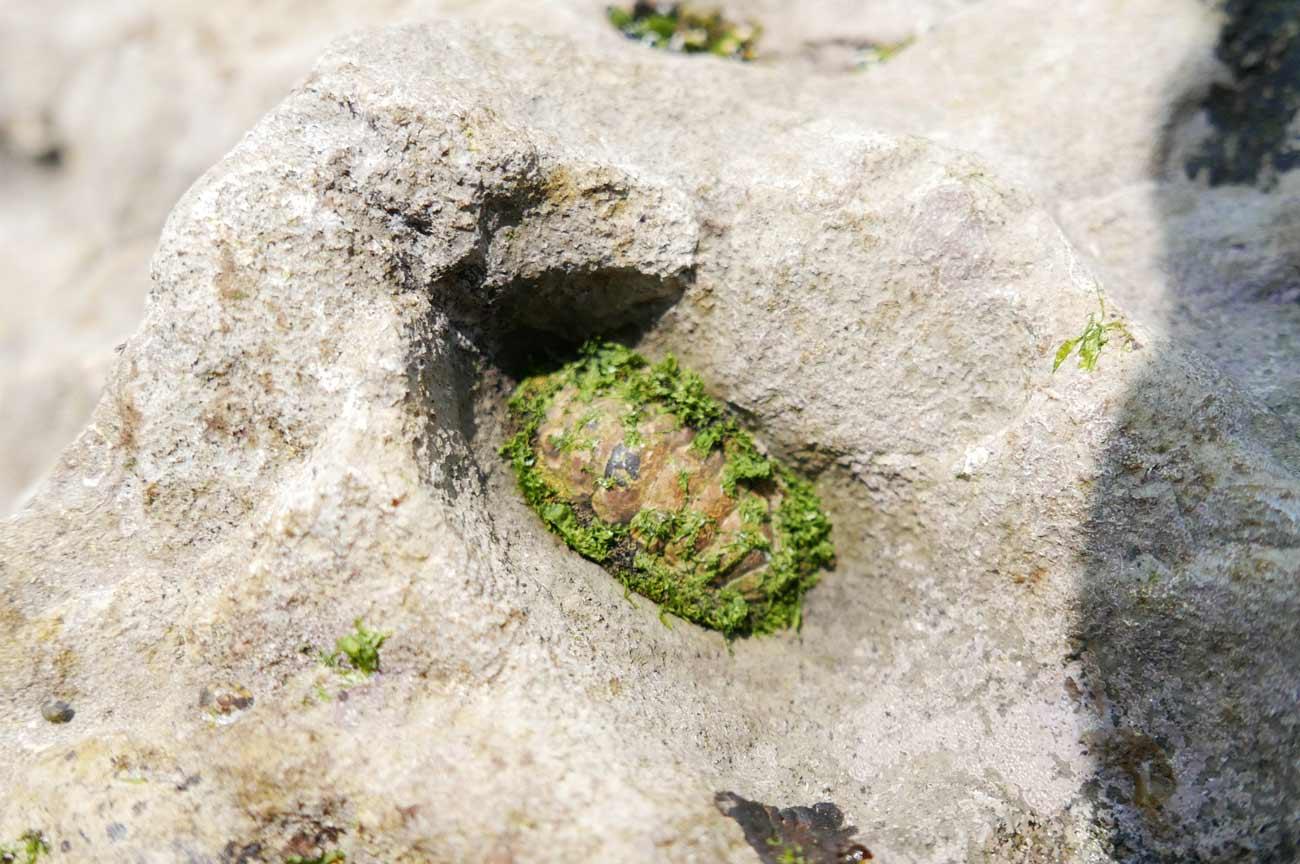 岩に付くひざら貝