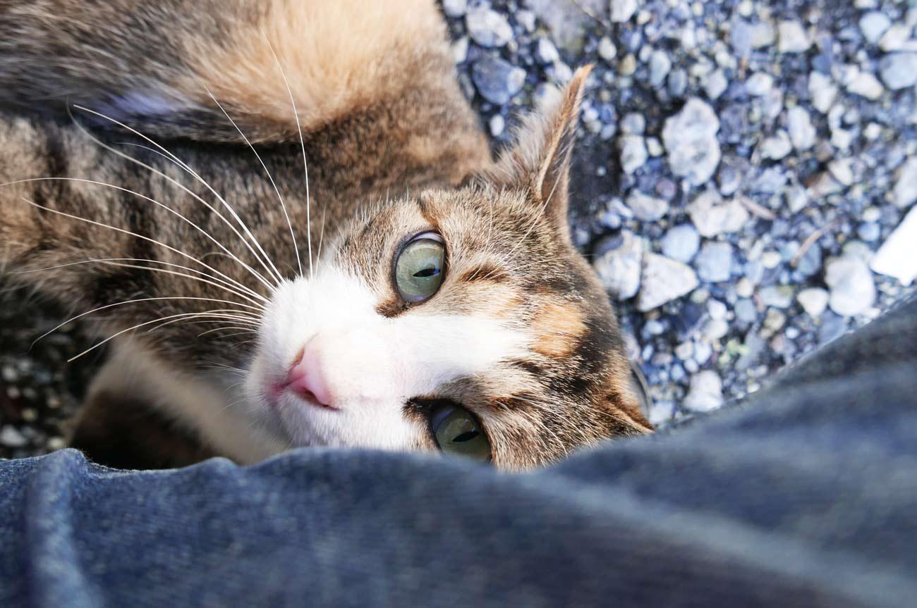 京山商店の三毛猫