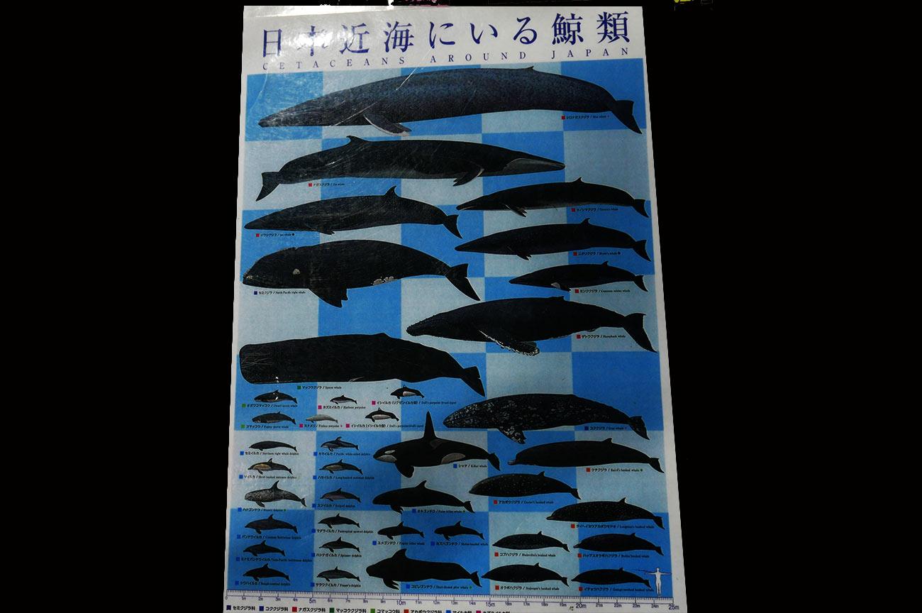 日本近海のくじらの種類