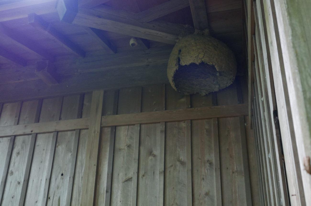 拝殿のスズメバチの巣