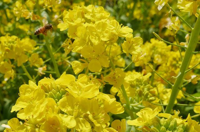 菜の花とミツバチのアップ