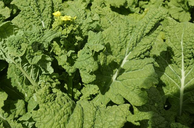 食用の菜花