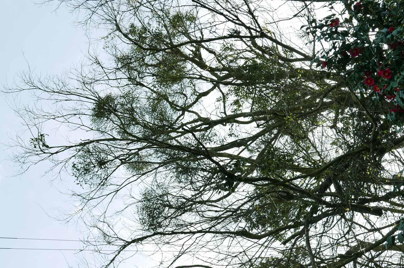 寄生する宿り木