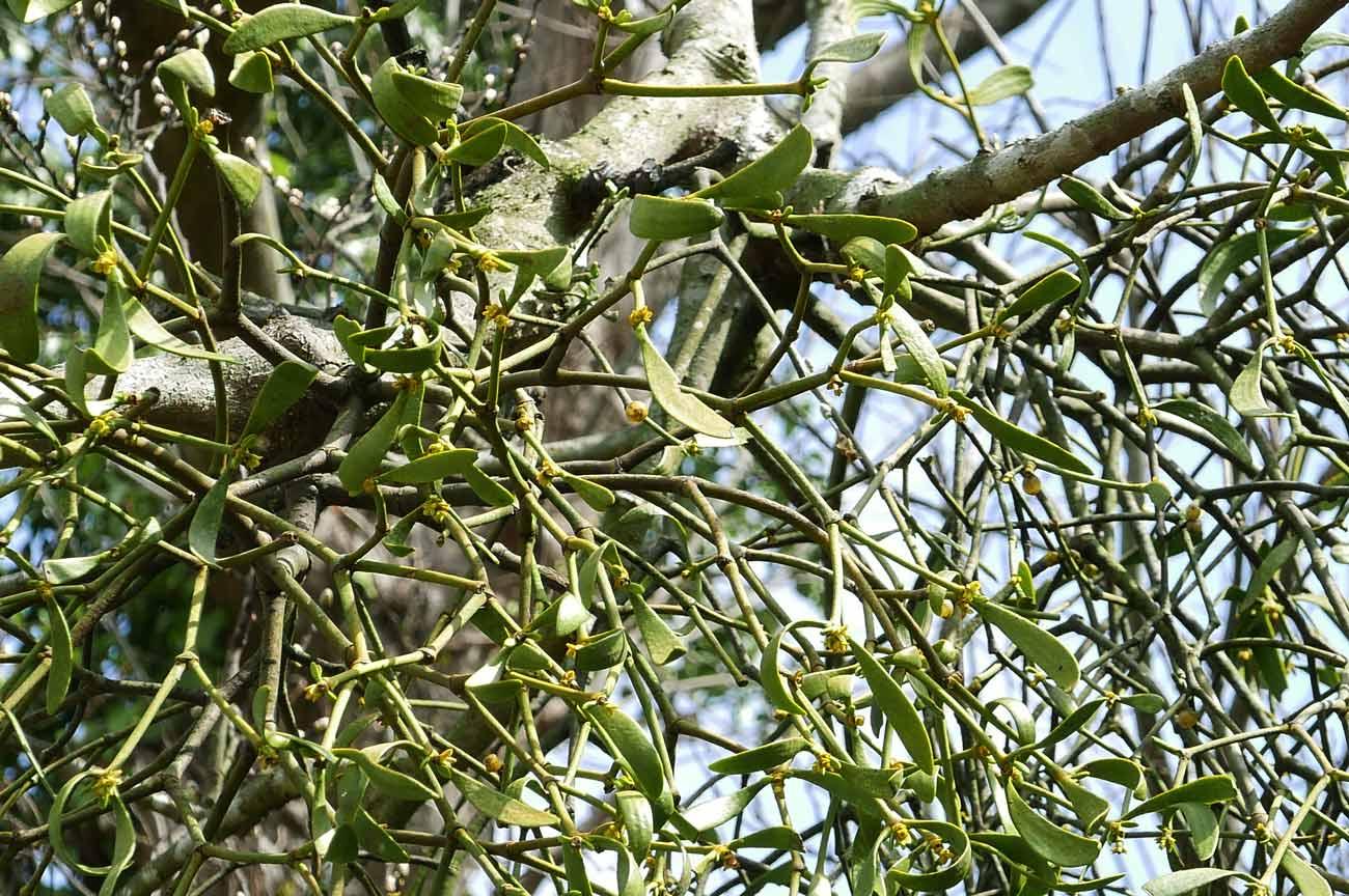 宿り木の葉アップ