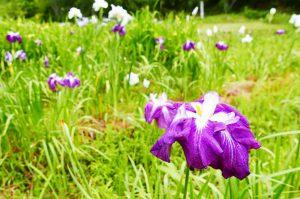 安馬谷の里山の花菖蒲園
