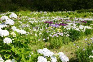 花菖蒲園の全景