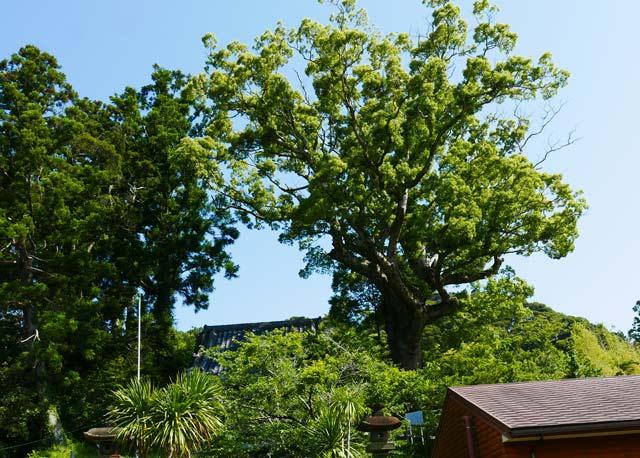 山神社のくすの木