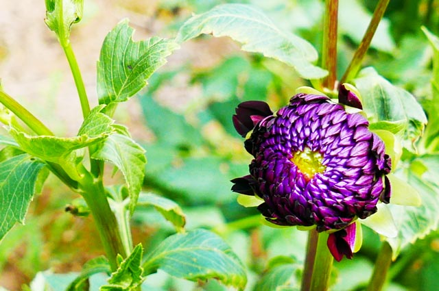 濃い紫のダリア